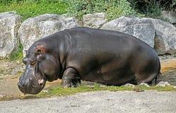 Мужчина бегемота Стоковое фото RF