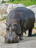 Мужчина бегемота Стоковое Фото