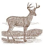 Мужчина бело-замкнул самца оленя virginianus американского оленя оленей во взгляде со стороны, стоя в ландшафте иллюстрация штока