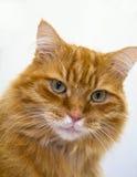 мужчина близкого имбиря кота с волосами длинний вверх Стоковые Фотографии RF