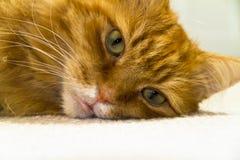 мужчина близкого имбиря кота с волосами длинний вверх Стоковая Фотография RF
