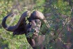 мужчина буйвола Стоковое Изображение RF