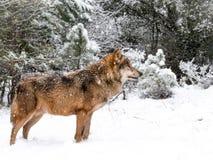 Мужчина волка в снеге в лесе Стоковое Изображение RF