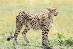 Мужчина гепарда стоковые фото