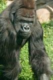 мужчина гориллы стоковые изображения rf