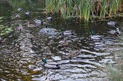 Мужчина группы и женщина уток кряквы ввергают на осеннем озере с тростником или спешкой и отражением в южном парке стоковые изображения rf