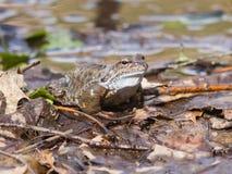 Мужчина европейские лягушка травы или temporaria Раны в размножении красят портрет конца-вверх, селективный фокус, отмелый DOF Стоковые Фото