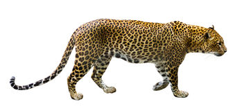 Мужчина леопарда Стоковые Фото