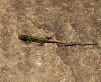 Мужчина зеленой ящерицы на утесе Стоковые Изображения RF
