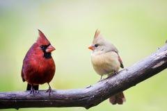 Мужчина и женские кардинальные птицы влюбленности Стоковая Фотография RF