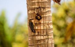 Мужчина и женский красный цвет увенчали Woodpeckers на их месте гнезда Стоковое Изображение RF