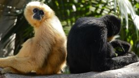 Мужчина и женщина желтого цвета cheeked гиббоновые - gabriellae Nomascus сток-видео
