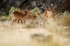 Мужчина и женщина испанского ibex молодой с детенышами в среду обитания природы Стоковое Фото