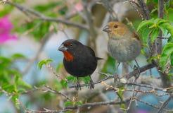 Мужчина и женщина меньший-Antillian Bullfinch Стоковые Изображения