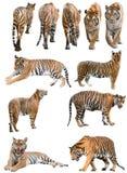 Мужчина и изолированный тигр Бенгалии fefmale стоковые фотографии rf