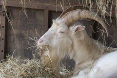 Мужчина козы в ферме Стоковые Фото