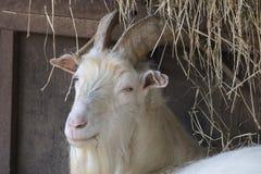 Мужчина козы в ферме Стоковая Фотография RF