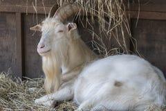 Мужчина козы в ферме Стоковые Фотографии RF