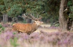 Мужчина красных оленей стоковые фотографии rf