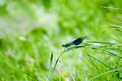 Мужчина красотки splendens Demoiselle или Calopteryx стоковое фото rf