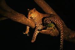 мужчина леопарда Стоковое Изображение