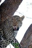 мужчина леопарда Стоковое Фото