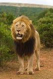 мужчина льва величественный стоковое изображение rf