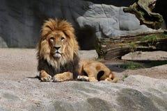 Мужчина льва на скалистом месте в плене Стоковые Изображения RF