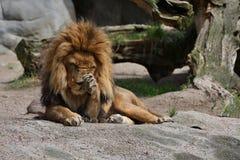 Мужчина льва на скалистом месте в плене Стоковые Фото