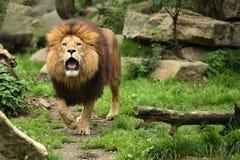 Мужчина льва на скалистом месте в плене Стоковое Изображение RF