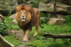 Мужчина льва на скалистом месте в плене Стоковые Изображения