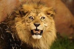 мужчина льва Стоковые Изображения