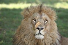 мужчина льва Стоковые Фото