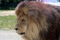 мужчина льва Стоковые Фотографии RF