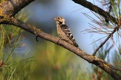 Мужчина меньший запятнанный woodpecker на ветви Стоковая Фотография RF