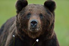 мужчина медведя коричневый Стоковая Фотография