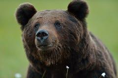 мужчина медведя коричневый Стоковые Фото