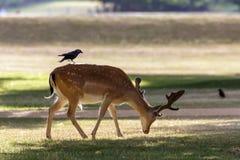 мужчина перелога оленей dama Стоковые Фото