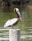 Мужчина пеликана Брайна Стоковое Изображение RF