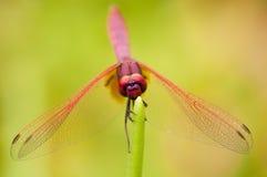 мужчина пунцового dragonfly dropwing Стоковое Изображение RF