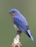 мужчина синей птицы восточный Стоковая Фотография
