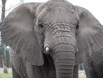 мужчина слона стоковое фото