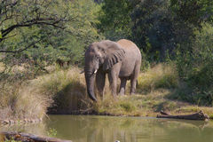 мужчина слона Стоковые Изображения RF
