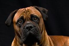мужчина собаки boerboel Стоковая Фотография RF