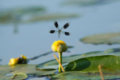 Мужчина соединил красотку Demoiselle (splendens Calopteryx) на реке lilypad Стоковое Фото