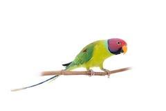 Мужчина слив-голового длиннохвостого попугая на белизне Стоковое Фото