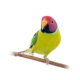 Мужчина слив-голового длиннохвостого попугая на белизне Стоковые Фотографии RF