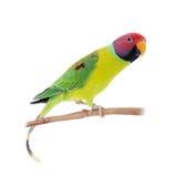 Мужчина слив-голового длиннохвостого попугая на белизне Стоковые Изображения
