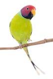 Мужчина слив-голового длиннохвостого попугая на белизне Стоковые Фото