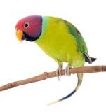 Мужчина слив-голового длиннохвостого попугая на белизне Стоковое Изображение RF